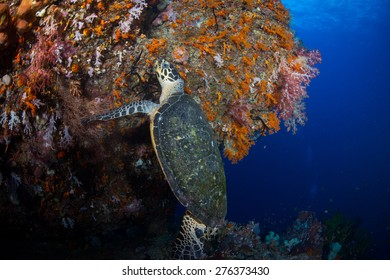A hawksbill turtle feeds on soft corals growing on a huge coral structure in Misool, Raja Ampat,