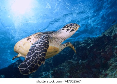 Hawksbill Turtle glides near the rough surface searching for food.