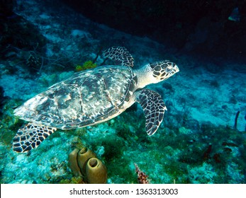 Hawksbill turtle grand cayman