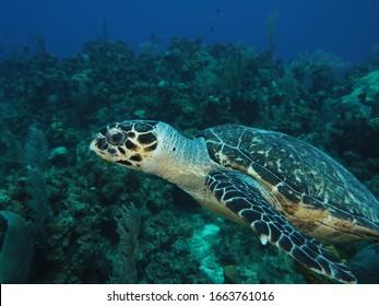 Hawksbill turtle grand cayman reef