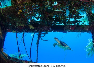 A hawksbill turtle has made a temporary home out of an underwater shipwreck. The wreck that is covered in coral offers underwater food and shelter to the peaceful creature
