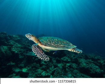 Hawksbill turtle on a coral reef with sun rays beaming down in the background