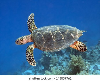 Hawksbill turtle in red sea
