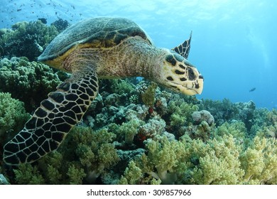 A hawksbill turtle in the Red Sea