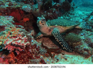 A Hawksbill turtle resting on a shallow reef Boracay Philippines