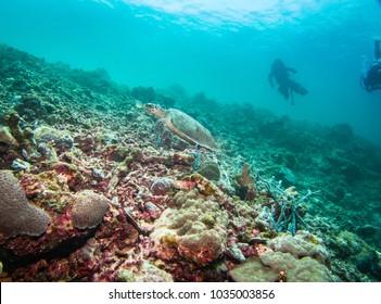 hawksbill turtle swimming on a reef