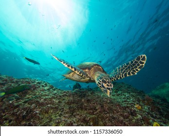 Hawksbill turtle swimming over a coral reef with the sun behind