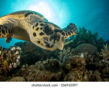 Hawksbill turtle swimming over coral reef with sun in background. closeup of eye.
