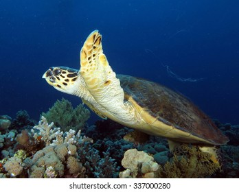 Hawksbill turtle swimming over coral reef