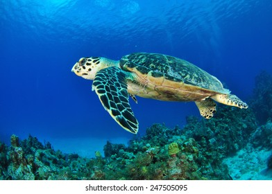 Hawksbill Turtle swimming over the reef, Grand Cayman
