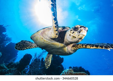 Hawksbill turtle swimming toward the camera with a sunburst in the background