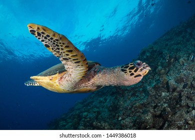 Hawksbill turtle swims around coral reef