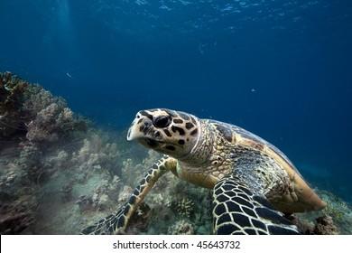 hawksbill turtle taken in the Red Sea