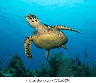 Hawksbill Turtle taking flight