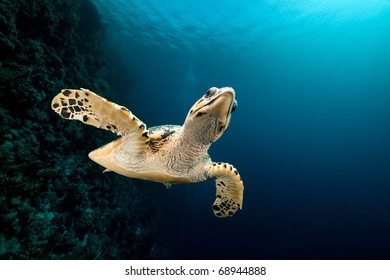 Hawksbill turtle and tropical reef  in the Red Sea