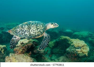 Hawksbill Turtle-Eretmochelys imbriocota on a reef in Broward County, Florida