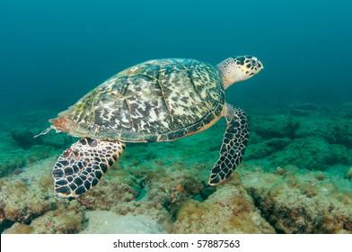 Hawksbill Turtle-Eretmochelys imbriocota,picture taken in Broward County Florida