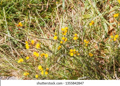 Hawkweed oxtongue, Picris hieracioides, growing in Galicia, Spain