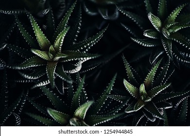 Haworthia fasciata in dark atmospheric modern tones. Amazing spiny plant in macro with copy space. Natural floral background. Rich vegetation of South Africa in vintage style. Rare species of plant.