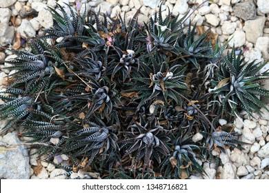 Haworthia fasciata, a succulent plant that grows on dry land
