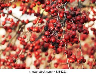 hawthorn berries background