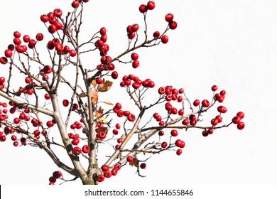 Hawthorn berries  isolated on white background