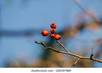 Hawthorn berries on a branch (Crataegus)