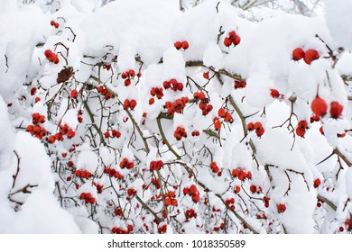 Hawthorn berries in the snow in winter