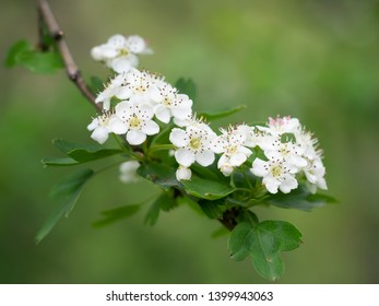 Hawthorn blossom, white flowers, against blurry, defocussed background. Aka Crataegus, quickthorn, thornapple, May-tree, whitethorn or hawberry.