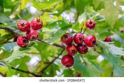 Hawthorn branch with red berries in sunny weather close-up.