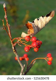 hawthorn branch with yellow leaves and red berries