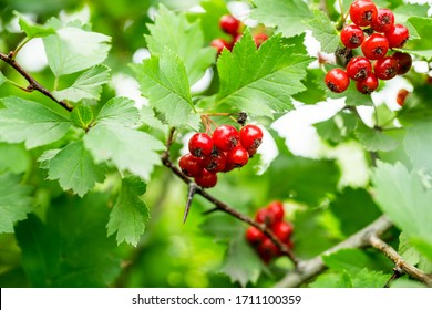 Hawthorn bush with berries in the garden. Shallow depth of field.