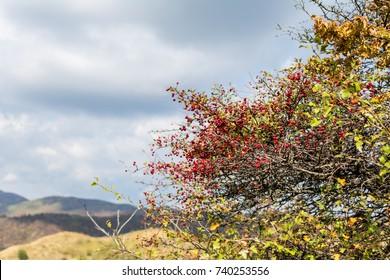 Hawthorn bush on mountain background