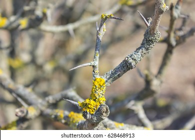 Hawthorn bushes, close-ups. Spring, branches without leaves.