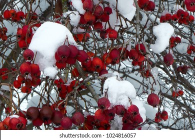 Hawthorn bushes with ripe berries under snow