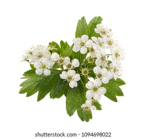 Hawthorn or Crataegus monogyna branch with flowers isolated on a white background