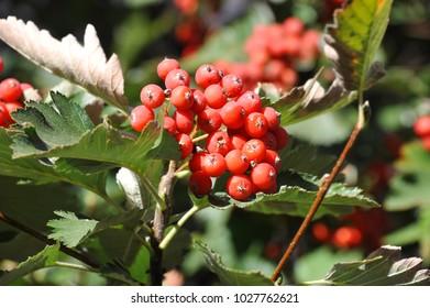 Hawthorn (Crataegus submollis Sarg.) tree with ripe berry