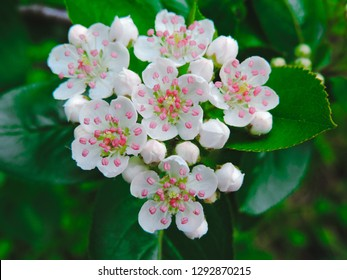Hawthorn flowers. floers of midland hawthorn, Crataegus laevigat.Beautiful Hawthorn blossom in April, close-up view. snow-white flowers of hawthorn