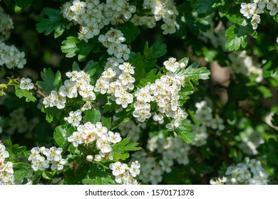 hawthorn flowers in the May hedge