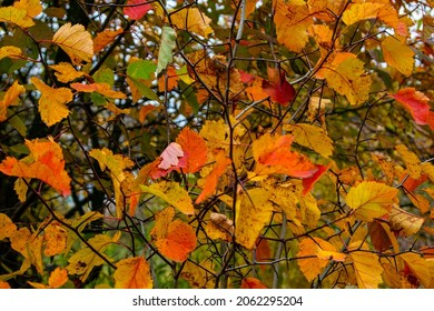 Hawthorn leaves take on different colors in the fall. They can be used for cooking decoctions that lower blood pressure.