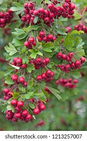Hawthorn, Midland (Crataegus laevigata) covered with brightly coloured Red Berries in Autumn