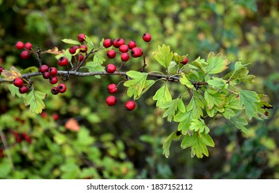 Hawthorn is a species of hawthorn originating in Europe, Northwest Africa and West Asia. It also occurs in other parts of the world, where it can be an invasive species. It is tolerant to the soil,