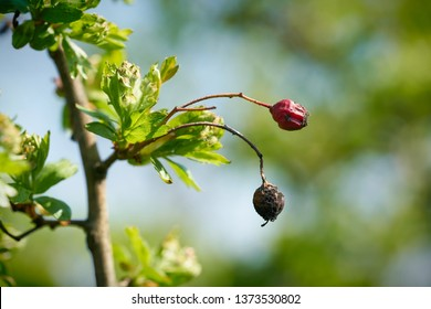 Hawthorn in spring with fruits from the previous year