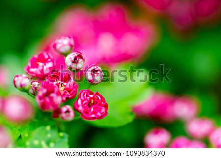 Hawthorn, thornapple, Crataegus, vivid pink flowers on green leaves background. Horizontal macro shot with selectif focus on howthorn new flowers.