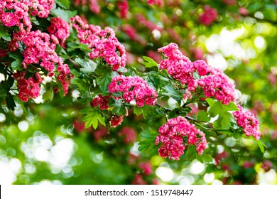 Hawthorn tree with pink flowers, close-up of flowering hawthorn, flowering pink hawthorn, pink flowers, hawthorn flowers, with Latin Crataegus