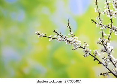Hawthorn twig with white flowers, Crataegus laevigata