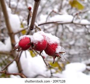 Hawthorn under the first snow
