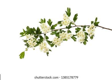 Hawthorn,Crataegus monogna, flowers and foliage isolated against white