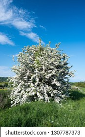A Hawthorne tree in full bloom in the English countryside