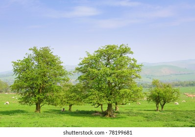 hawthorne trees in english countryside with sheep